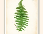 Antique FERN Botanical Art Print Plate 15 Reproduction 8x10 inches