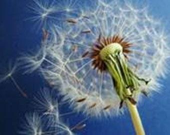 Dandelion Seeds - Heirloom - 30 Seeds - NO SPRAY - Great Survival Seeds