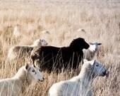Black Sheep, 8 x 10 Fine Art Photography