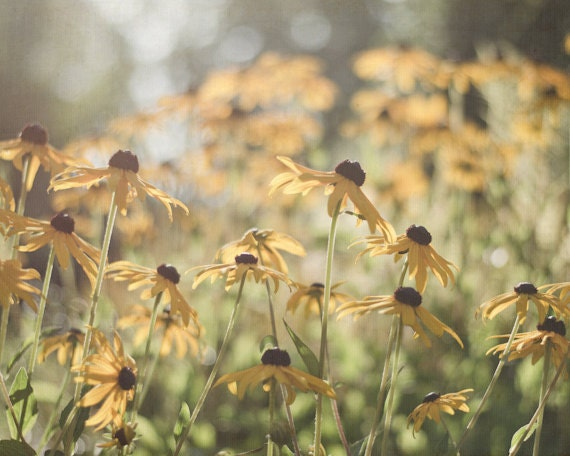 8x10 Flower Photography, 16x20 Nature Photograph, Yellow and Green Wall Art, Rustic Floral Print, Black Eyed Susan