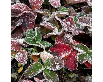 Winter frost  red green leaves snow fine art photograph print 11x14