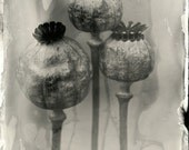5x7 Metal Print: Poppies