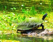8x10 Bayou turtle fine art photograph