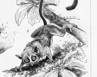 Lemur print  tarsier print  maki print  simians monkey print : Antique 1890s engraving , ready to be framed old book plate