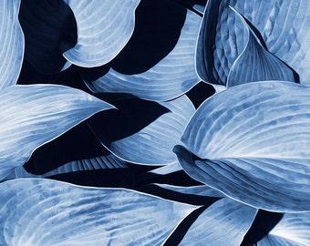 Garden Photography, Hosta Plant Leaves, Fine Art Photograph, Nature Print, Blue Wall Art, Minimalist Abstract Art, Home Decor, Cyanotype