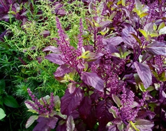 "Tulsi Seeds, ""Krishna"" - Purple -- Medicinal Herb"