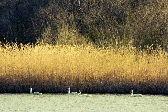 Swans Photography, Wildlife Photography, Swan Birds Family, 8x12 natural beige orange harvest