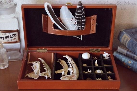 """Cabinet of curiosities. """"Elias."""" Jawbones, feathers, vertebrae, teeth, shells."""