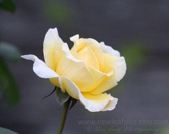 Yellow Rose Flower Blossom, botanical print, gifts for her, feminine wall art