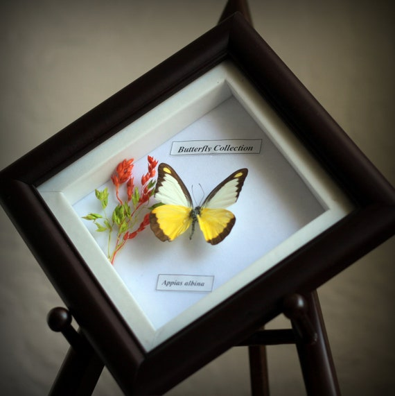 Common albatross, mounted butterfly, insect display, organic, appias albina,