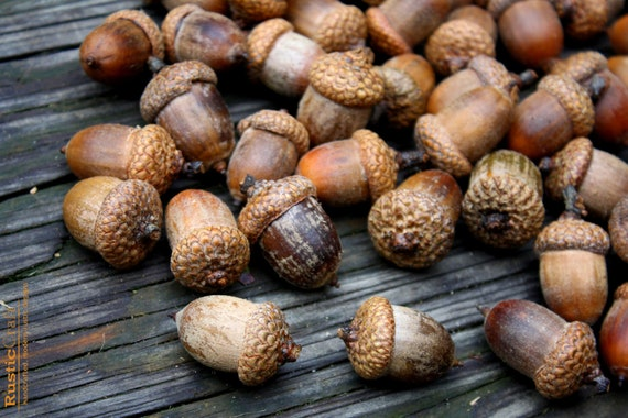 Acorns Large with Caps - Autumn crafts, decorations, DIY Rustic Wedding supplies- Vase Filler- Clean & dried- Best acorns