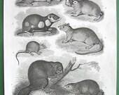 QUADRUPEDS Beaver Musk Mouse Hamster Cape Mole Rat - 1810 Vintage Antique Print