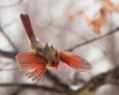 The Art of Staying Aloft  No.9 Northern Cardinal (Cardinalis cardinalis)