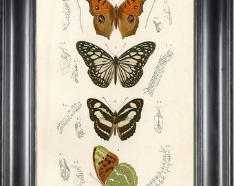 BUTTERFLY PRINT D'Orbigny 8x10 Botanical Art Print 4 Beautiful Antique French Butterflies Natural History Plate to Frame Interior Design