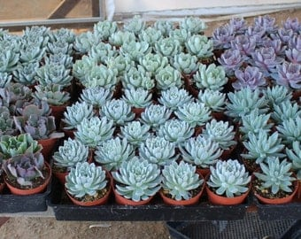 """10 Gorgeous Rosette ONLY Succulents in their 4"""" plastic containers wedding shower FAVORS party gifts plants succulent"""