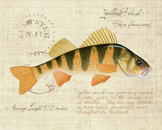 Yellow Perch - 8 x10 inch limited edition print by Matt Patterson, natural history, cabin decor, fishing print