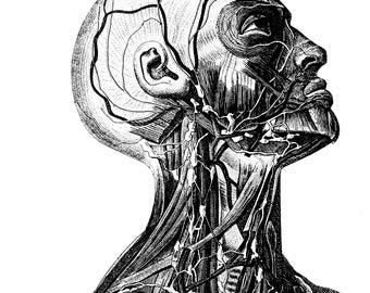 Anatomical, Medical, Skull anatomy, 52