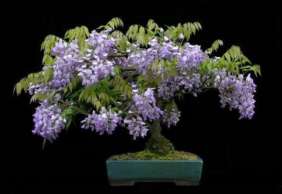 Bonsa bonsa de glycine chinoise graines darbre fleur - Graine de glycine ...