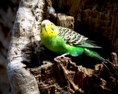 Budgie In Nest Hole