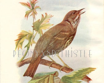 Thrush, Antique Bird Print, Vintage Bird Illustration - Bird Print from Swaysland, Familiar Wild Birds