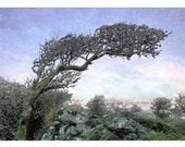 Windswept Tree, Cornwall
