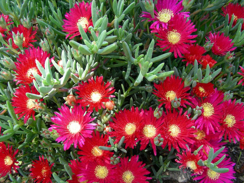18 Pcs Perennial Ice Plants Ground Delosperma Sphalmanthoide