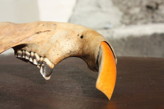 Natural History... Rodent - jaw bone to use in your mixed media, jewelry or assemblage - Home decor