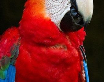 Scarlet macaw portrait