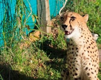Cheetah 11x14 print