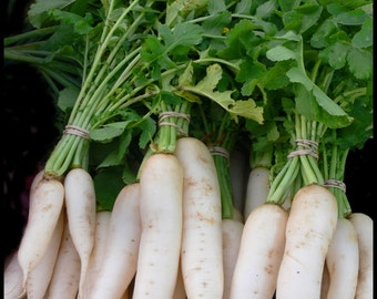 DAIKON Radish Seeds - Organic Non-GMO , Daikon Radish - Open-Pollinated