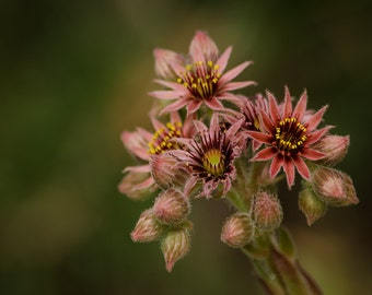 FREE SHIPPING, Nature photography, houseleek photography, houseleek flower, flower photography, A5