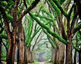 Tree Photography - Live Oak Trees - Misty Morning Photography - beautiful nature photo - Green