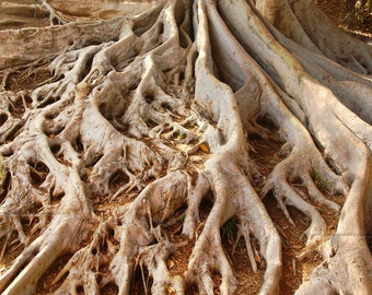 Moreton Bay Fig Tree ROOTS- BLANK 5 X 7 Nature NOTECARD frameable Art Photo with Free Origami Crane