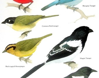 Bird Print - Scarlet Tanager, Magpie Tanager, Blue Gray Tanager, Common Bush Tanager - 1984 Vintage Birds Book Page