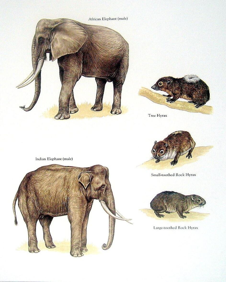 African Elephant Indian Elephant Tree Hyrax Etc. Vintage