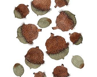 Burr Oak Print, autumn acorns, giclee art print, oak tree, nature art, seeds,watercolor reproduction, woodland