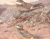 Vintage Bird Print, Book Plate, Goatsuckers, Nighthawk, Texas Nighthawk, Allan Brooks, Antique Bird Illustration, 1930s