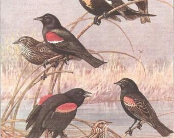 Vintage Bird Print, Book Plate, Blackbird, Redwing, Yellow-headed, Allan Brooks, Antique Bird Illustration, 1930s