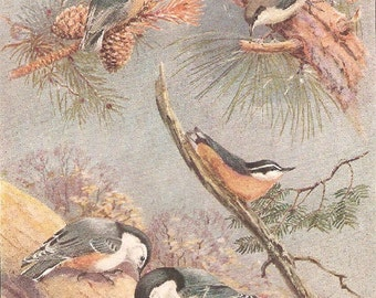 Vintage Bird Print, Book Plate, Nuthatch, White Breasted, Brown Headed, Allan Brooks, Antique Bird Illustration, 1930s