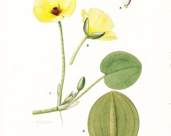 1925 Botany Print - Hydrocleys Nymphoides - Water Poppy - Vintage Antique Flower Art Illustration Book Plate for Framing