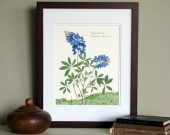 Pressed flower print, 11x14 double matted, Texas Bluebonnet wildflowers, wall decor no. 003