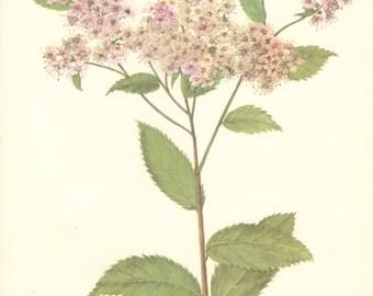 Vintage Flower Print, Pruhonice Spiraea, Botanical Plant (115) Natural History, Blossom Art, 1970