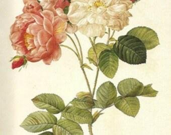 Rosa Damascena - Cross stitch pattern pdf format