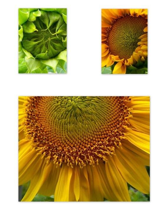 Sunflower Photos  Set, Series, Trio of Yellow Green Sunflower Fine Art Prints Home Office Decor