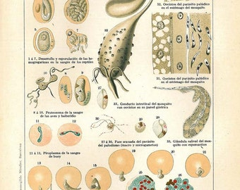 1920s Haemosporidia Vintage Science Print Color Lithograph, Red Blood Cells Parasites