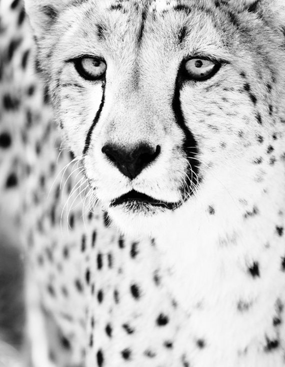 Cheetah Monochrome Art Photo - Black and White Wall Art - Fine Art Animal Photography Home Decor