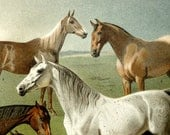 1894 Antique fine lithograph. Different species of HORSES. 120 years old gorgeous print.