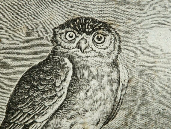 1780 Antique Buffon copper engraving of a small OWL (Spotted Owl). 233 years old rare print.