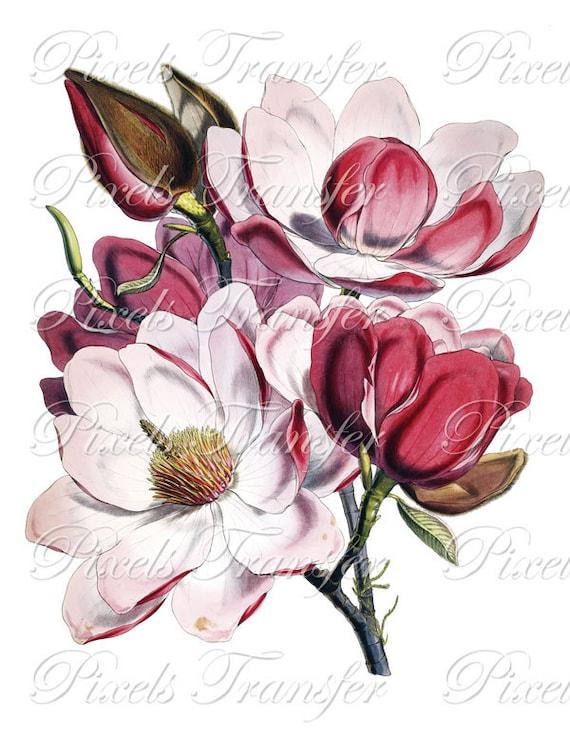 MAGNOLIA Instant Download, Digital Downloads, Large Digital Image, pink magnolia clipart, vintage botanical illustration 078