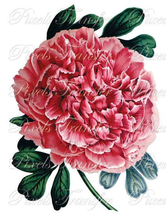 PEONY Instant Download, Digital Downloads, clipart botanical illustrations wedding clipart 108